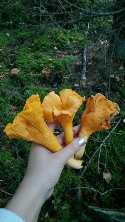 Toissasyksynä suuria kantarelleja löytyi kuin sieniä sateella!